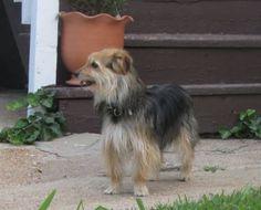 Petfinder  Adoptable | Yorkshire Terrier Yorkie | Dog | St. Louis, MO | Starsky