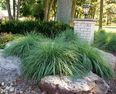 Reducing lawn with boulders and native ornamental grasses.