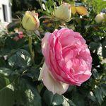 """Stempelfrosch on Instagram: """"Auch heute habe ich wieder eine Geburtstagskarte…🎉🎉🎉Stempel von @artimpressions Klecks von @createasmilestamps…"""" Rose, Flowers, Plants, Pink, Plant, Roses, Royal Icing Flowers, Flower, Florals"""