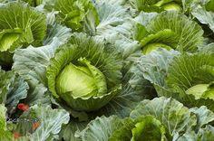 Секреты здоровой капусты  Оказывается, получить хороший урожай капусты не так и сложно, если правильно ухаживать за рассадой – ведь с рассады все и начи... - Сад огород - Google+