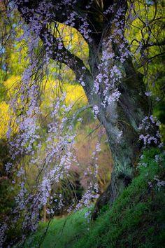 Weeping Cherry Tree in Fukushima, Japan | Kazuya Nagahori