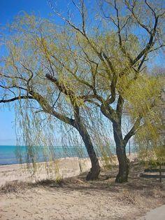 Spring Willow 4