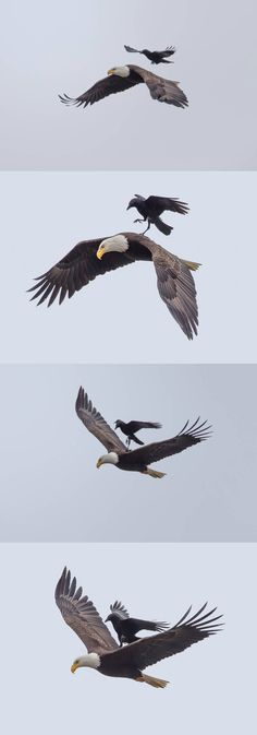Wow! Just in the nick of time. I was out of gas. (Free Ride! A crow catches a ride on the back of a bald eagle).