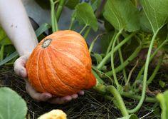 Kurpitsan kasvatus vaatii runsaasti lämpöä, kasvutilaa, kastelua ja vahvaa maata. Lue Viherpihan vinkit ja kasvata maukasta lähiruokaa.