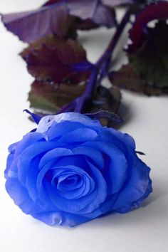 blue rose-u're the only one...