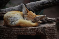 Sleeping Fox via Velvet Bambi