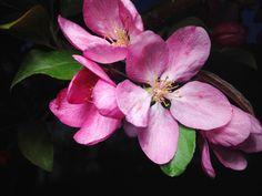 Apple Tree Pink Flowers