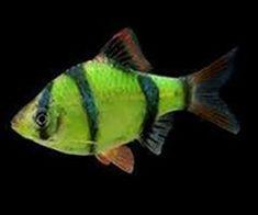 16 best glofish gifts images lyrics texts fishing