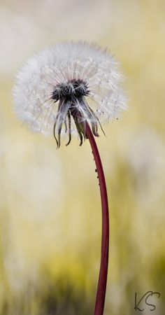"""Just a dandelion    (If you don't know what to do with this after it's picked honey you need to get out more. Literally. Don't think there's too many in our yard that weren't """"seeded"""" for future dandy lions to grow when I was a kid. I still will yank em up if I see one. Most of my dreams have come true. Still got a couple stragglers out there so gotta keep on dreaming ت Imelda)"""