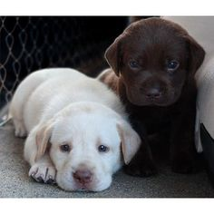 Across the world people are just Ga-Ga about Labrador dogs. But is Labrador areally good dog breed Heres exactly why you MUST NOT opt for a Labrador ever And if you have one well. Animals And Pets, Baby Animals, Funny Animals, Cute Animals, Wild Animals, Baby Dogs, Pet Dogs, Doggies, Pet Pet