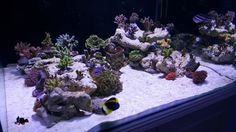 Atlantik Compact LED - color and growth Our good friend Daniel has recently completed a new build and shared photos with us of his wonderful new reef tank.  Daniel is using our Atlantik Compact LED units over his tank and with great color and new growth emerging already. …
