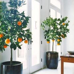i love the idea of citrus trees in the house, especially since we live in WA and they wouldn't work outdoors. i'm thinking our study will need a couple potted trees in front of the big, sunny windows. or maybe in the dining room?