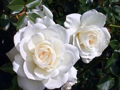 Pink And White Flowers, Love Flowers, White Roses, Blossom Garden, Blossom Flower, Rose Reference, Garden Landscape Design, Landscape Designs, Rose Cottage