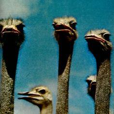 Ostriches • Unknown Ph