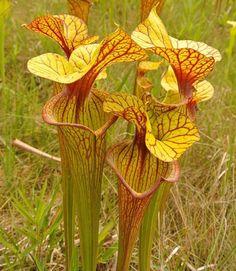 #Sarracenia #carnivoroustagram #carnivorousplants #pitcherplants #californiacarnivores