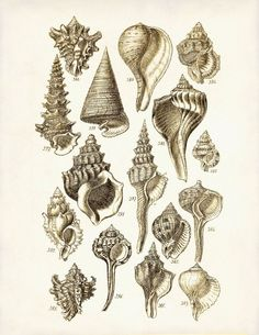 Vintage Seashells 1 - A mid 1800s George Sowerby 8 x 10