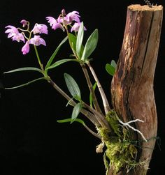Dendrobium kingianum...mounted - Orchid Board - Most Complete Orchid Forum on the web !