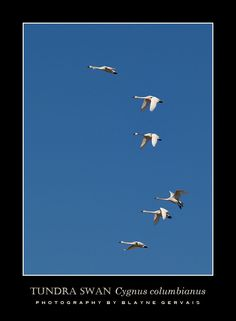 Migrating tundra swans can be seen in huge numbers in March in flooded fields near the Lambton Heritage Museum near Grand Bend, ON. Community Foundation, Heritage Museum, Meeting New Friends, Swans, Ontario, Fields, Numbers, March, Canada