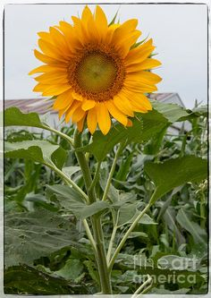 Large Sun Flower Loriannah-Hespe.artistwebsites.com
