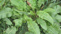 A lósóska gyógyhatása egy fél gyógyszertárral felér - Egészségtér - Természetes egészség Permaculture, Healthy Drinks, Bio, Weed, Herbalism, Plant Leaves, Herbs, Flowers, Allergies
