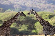 2 giraffe & 3 birds