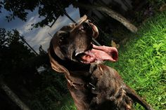 Betty - my German Shorthaired Pointer posing in from of the camera. German Shorthaired Pointer, Cow, Cute Animals, Horses, Pretty Animals, Cutest Animals, Cattle, Cute Funny Animals, Horse