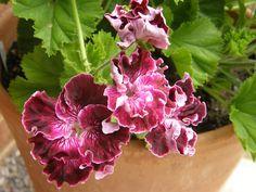 Pelargonium Marchioness of Bute less elegant than Lord Bute but 'interesting'. From Fibrex Nurseries UK.