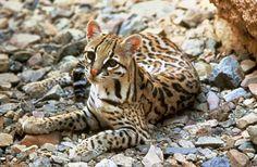 espécies de felinos- jaguatirica