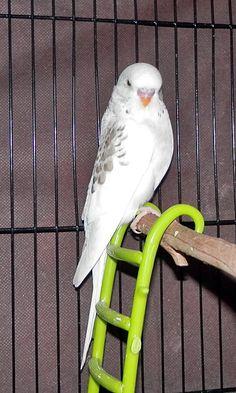 meet Gunny, he's Grey Opaline Cinnamon Dominant Pied