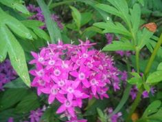 Pentas - this is actually lavender - In the Gardens Today 6-24-2013