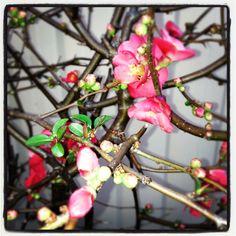 Japanese blossom, my favourite