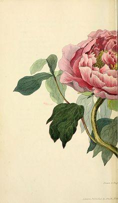 n61_w1150 | Flora conspicua London :Longman, Rees, Orme, Bro… | Flickr - Photo Sharing!