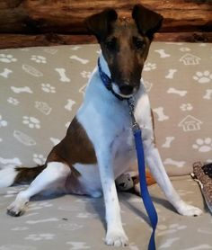 Meet BRIAN, a Petfinder adoptable Smooth Fox Terrier Dog | Hackettstown, NJ | Brian is a handsome 6yr old male Smooth. He is a very sweet, loving, mellow boy with a charming...