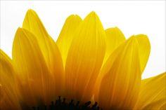 Sunflower petals!