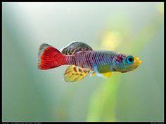 Killifish / Nothobranchius guentheri 'zanzibar' | Flickr - Photo Sharing!