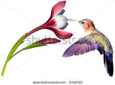Bing hummingbird images | Hummingbird Drawings - Bing Images | HUMMINGBIRDS AND THEIR FLOWERS