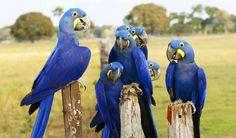 Ara giacinto - Hyacinth Macaw -  Anodorhynchus hyacintinus