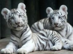 These two tiger cubs are having just the best time ever. Photo Slavek Ruta / REX