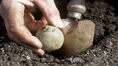 Planting a potato