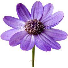 Яндекс.Картинки ❤ liked on Polyvore featuring flowers and purple flower