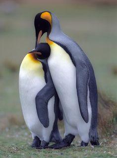 Penguins, Falkland Islands