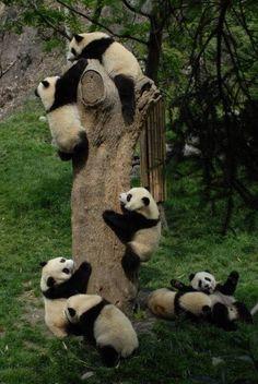pandas =]
