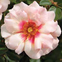 Eyconic Pink Lemonade Shrub Rose | Shrub Roses | Edmunds' Roses