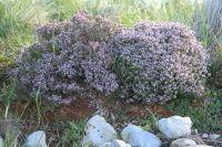 Plantas. Foto de un arbusto de tomillo