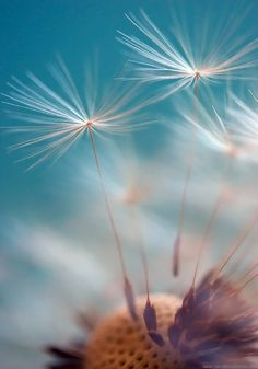 Float by Yana Bondareva  500px ~ Dandelion