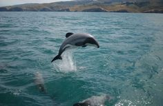 I Delfini di Maui prossimi all'estinzione se non agiamo subito – Maui's dolphin faces extinction unless action is taken now | DENEB Official ©