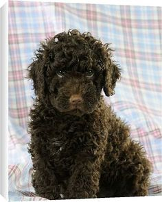Spanish Water Dog photo | Canvas Prints of JD-21588 DOG. Spanish water dog puppy sitting on ...