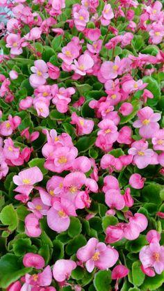 Begonia Bada Bing Green Leaf Rose Bada Bing, Begonia, Live Plants, Green Leaves, Gardens, Cottage, Rose, Pink, Outdoor Gardens