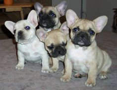 French Bull Dogs......I Want one!!!!!