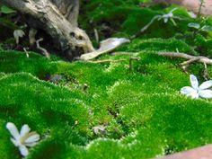 Kolkata Moss Plant